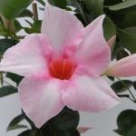 Sundaville Cream Pink CloseUp 3 MandyPlants.com