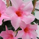 Sundaville Cream Pink CloseUp 4 MandyPlants.com