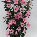 Sundaville Cream Pink Plant 1 MandyPlants.com