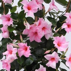 Sundaville Cream Pink Plant 2 MandyPlants.com