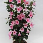 Sundaville Cream Pink Plant 3 MandyPlants.com