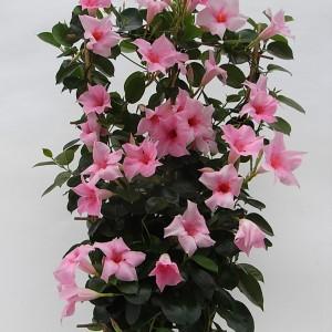 Sundaville Cream Pink Plant 4 MandyPlants.com