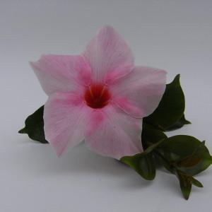 Sundaville Cream Pink MandyPlants.com