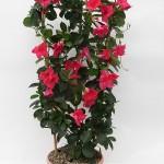 Sundaville Pink Plant 1 MandyPlants.com