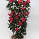 Sundaville Pink Plant 2 MandyPlants.com