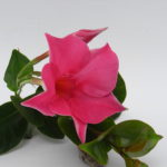 Sundaville Pink MandyPlants.com