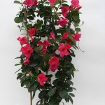 Sundaville Pink Plant 31 MandyPlants.com