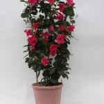 Sundaville Pink Plant 4 MandyPlants.com
