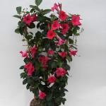 Sundaville Pink Plant 5 MandyPlants.com