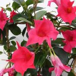 Sundaville Pink Plant CloseUp 6 MandyPlants.com