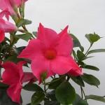 Sundaville Pink Plant 7 MandyPlants.com