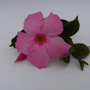 Sundaville Pretty Rose MandyPlants.com