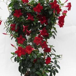 Sundaville Pretty Red Large Plant 1 MandyPlants.com