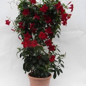 Sundaville Pretty Red Large Plant 2 MandyPlants.com