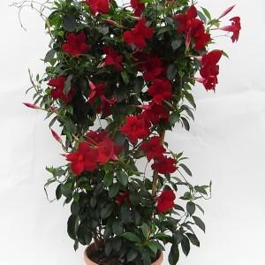 Sundaville Pretty Red Large Plant 3 MandyPlants.com