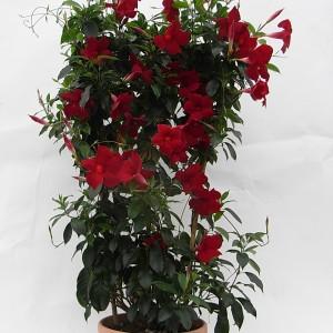 Sundaville Pretty Red Large Plant 4 MandyPlants.com
