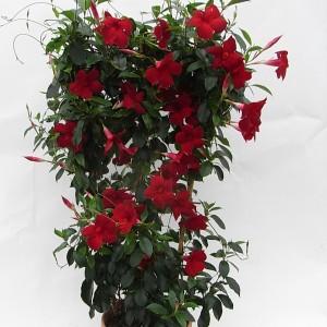 Sundaville Pretty Red Large Plant 5 MandyPlants.com