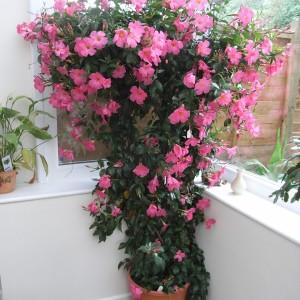 Sundaville Pretty Rose Large Plant 3 MandyPlants.com
