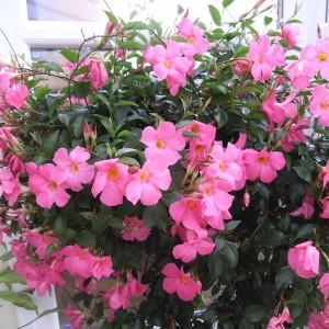 Sundaville Pretty Rose Large Plant 5 MandyPlants.com