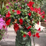 Sundaville Red Plant 23 MandyPlants.com