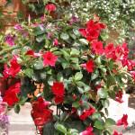 Sundaville Red Plant 24 MandyPlants.com