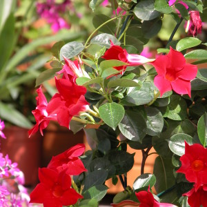 Sundaville Red Plant 25 MandyPlants.com