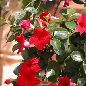 Sundaville Red Plant 26 MandyPlants.com