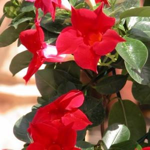 Sundaville Red Plant 27 MandyPlants.com