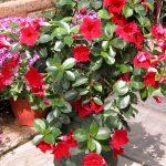 Sundaville Red Plant 28 MandyPlants.com