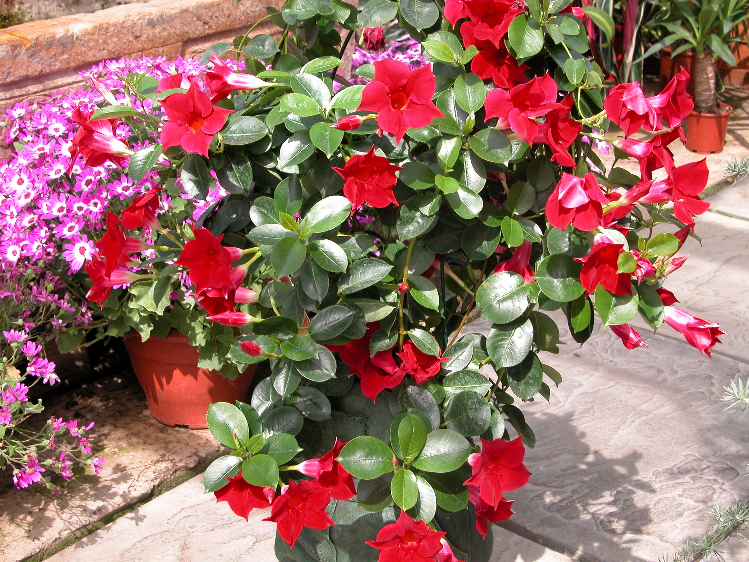 sundaville red mandyplants. Black Bedroom Furniture Sets. Home Design Ideas