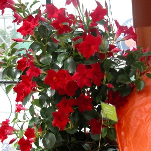 Sundaville Red Plant 17 MandyPlants.com