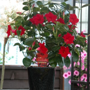 Sundaville Red Plant 18 MandyPlants.com