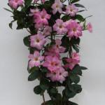 Mandaville Cosmos Pink Plant 20 MandyPlants.com