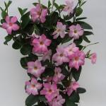 Mandaville Cosmos Pink Plant 23 MandyPlants.com