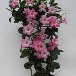 Mandaville Cosmos Pink Plant 25 MandyPlants.com