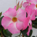 Mandaville Cosmos Pink CloseUp 27 MandyPlants.com