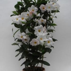 Sundaville Cosmos White Plant 2 MandyPlants.com
