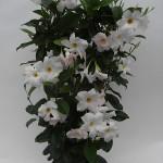 Sundaville Cosmos White Plant 3 MandyPlants.com