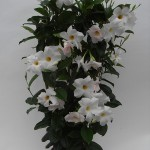 Sundaville Cosmos White Plant 4 MandyPlants.com