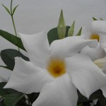 Sundaville Cosmos White CloseUp 6 MandyPlants.com