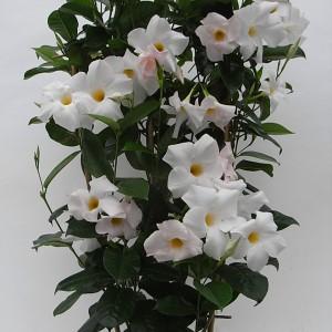 Sundaville Cosmos White Plant 9 MandyPlants.com