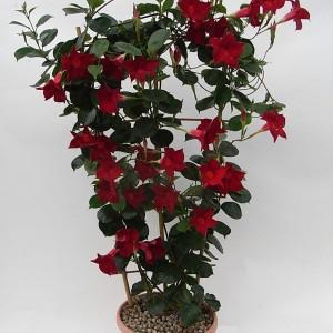Sundaville Dark Red Plant 4 MandyPlants.com