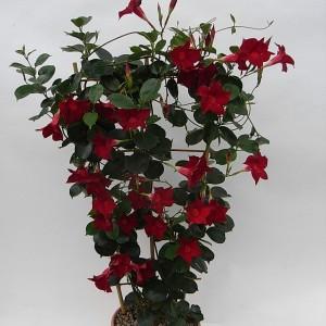Sundaville Dark Red Plant 5 MandyPlants.com