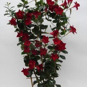 Sundaville Dark Red Plant 6 MandyPlants.com