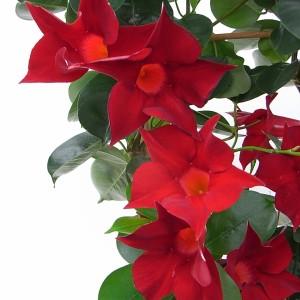 Sundaville Dark Red Plant 7 MandyPlants.com