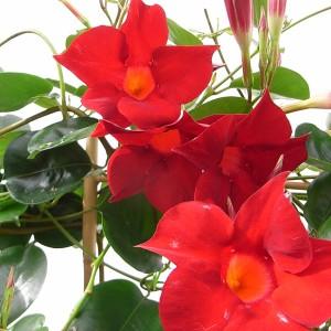 Sundaville Dark Red Plant 11 MandyPlants.com
