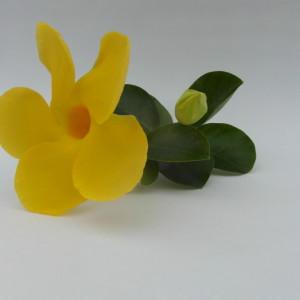 Mandaville Diamentia Yellow CloseUp 5 MandyPlants.com