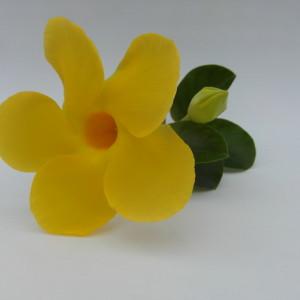 Mandaville Diamentia Yellow CloseUp 2 MandyPlants.com