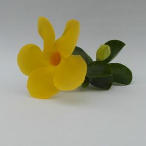 Mandaville Diamentia Yellow CloseUp 4 MandyPlants.com