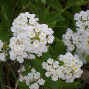 Lantana Silver Mound CloseUp 3 MandyPlants.com